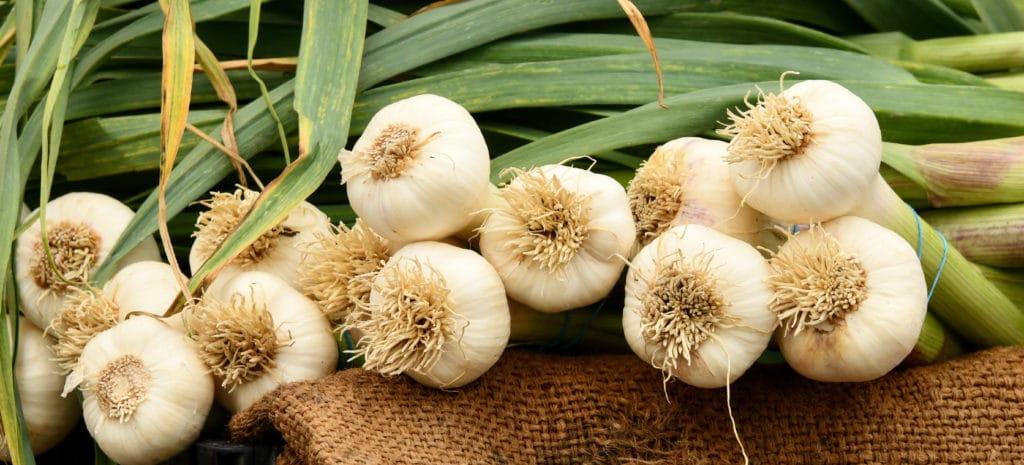 harvested garlic plants
