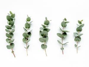 eucalyptus plant trimmings