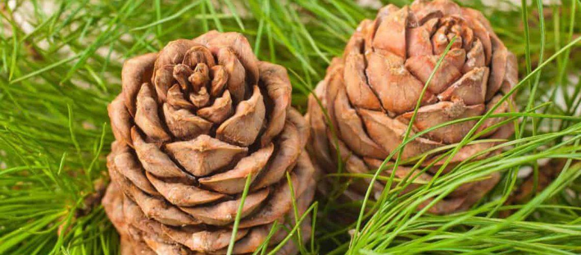 cedar pine cones